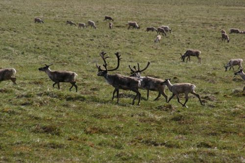 ANWR picture of caribou