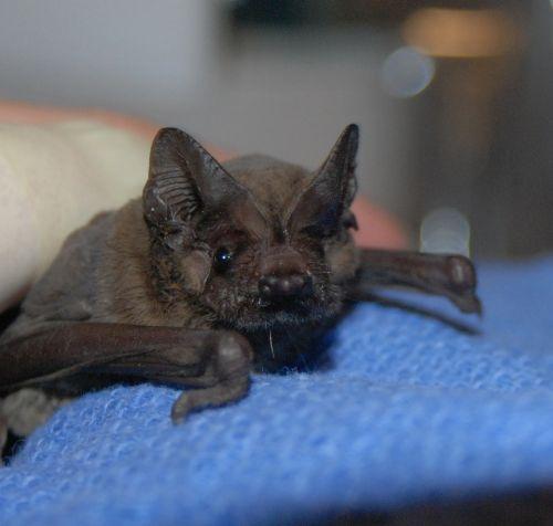 A baby bat