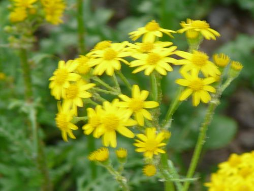 Native Plants - Golden Groundsel