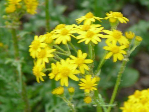 Golden Groundsel Plants